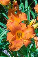 Hemerocallis 'Fire King' brilliant orange daylily, recurved and ruffled