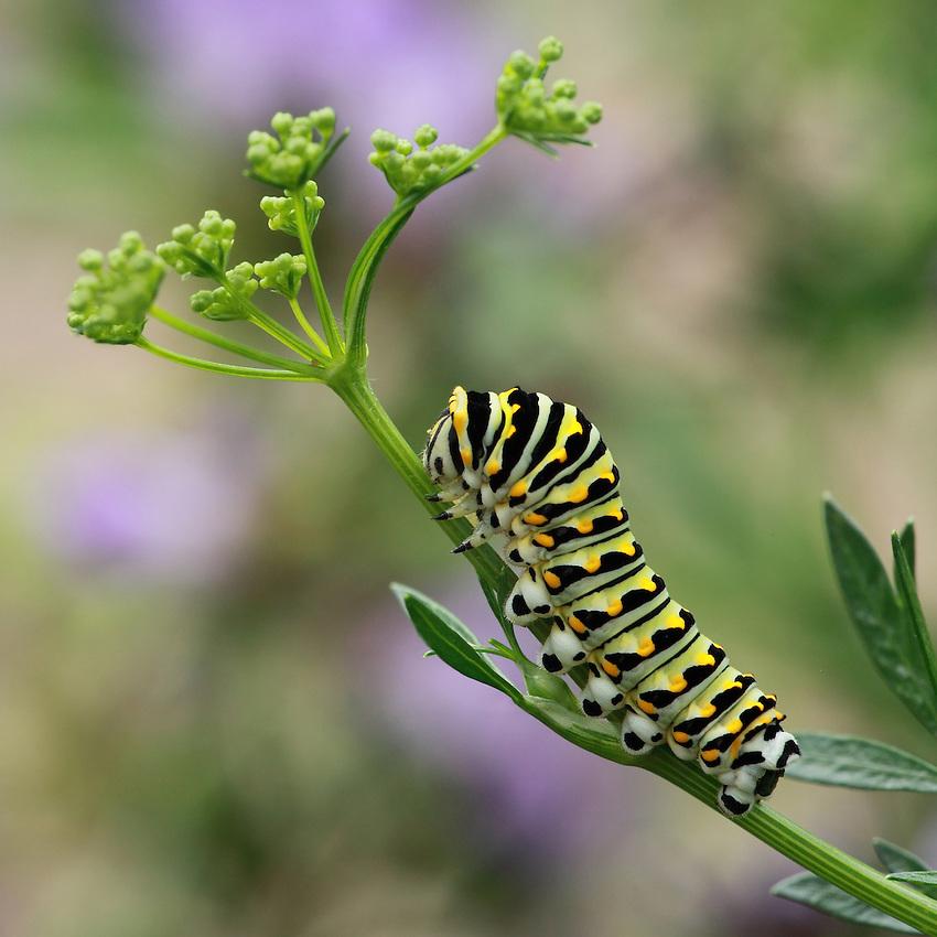 Black Swallowtail Caterpillar on new parsley bloom.