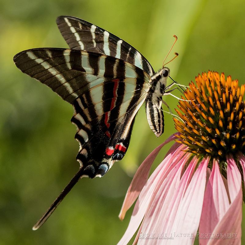 Zebra Swallowtail butterfly on Purple Coneflower wildflower, captured in my rural Missouri butterfly garden
