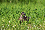 Hen mallard in a northern Wisconsin meadow.