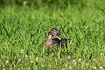 Hen mallard in a northern Wisconsin meadow.
