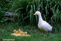 DG07-013z  Pekin Duck - female duck with young