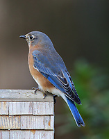 Female eastern bluebird at bird house