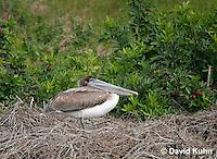 0308-0844  Brown Pelican, Pelecanus occidentalis © David Kuhn/Dwight Kuhn Photography