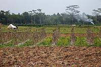 Borobudur, Java, Indonesia.  Preparing Fields to Plant Tobacco.