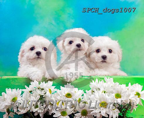Xavier, ANIMALS, REALISTISCHE TIERE, ANIMALES REALISTICOS, dogs, photos+++++,SPCHDOGS1007,#A#, EVERYDAY