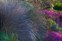 Grass-like Restio with gray foliage in South African garden bed at Leaning Pine Arboretum