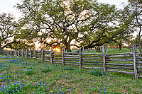 Texas Wildflower Landscape - Another capture of this wood fence with bluebonnets, the oak tree at sunset which creates this wonderful wildflower landscape in the texas Hill country. The bluebonnet were growing in front of this wonderful old oak tree as the sunsets through the fence with these nice sun rays cast their light over the flowers. Spring is here and the bluebonnet is the first sign that it is here. We have traveled the backroads of the hill country always searching for good locations and today we found another good spot for the perfect texas bluebonnet landscape. In Texas the bluebonnet along with other wildflowers start coming out in the southern central part of the state first in Feb and slowly move north through May. Then we have the summer wildflower that start popping up but most consider the bluebonnet as the main attraction if we can find other flowers that even better but we gotta see the blue bonnets or we feel empty.