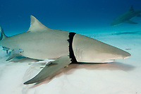 Lemon shark, Negaprion brevirostris, with plastic bag caught around its gills, in the Bahamas.