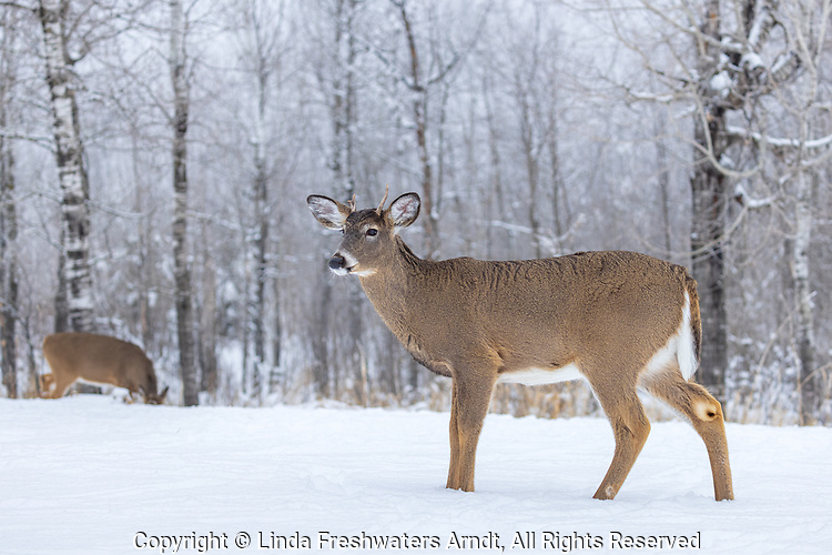 Young white-tailed buck in a snow-covered field in northern Wisconsin.