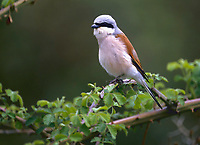 Neuntöter, Rotrückenwürger, Männchen, Rotrücken-Würger, Würger, Lanius collurio, red-backed shrike, male
