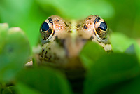 Perez's frog, Iberian waterfrog, Iberian green frog, or Coruna frog, Pelophylax perezi, eye detail, Spain
