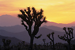California, Joshua Tree national park, Joshua trees and successive mountain ranges silhouetted at sunset