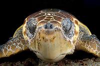 portrait of a loggerhead sea turtle, Caretta caretta, Palm Beach, Florida, USA, Atlantic OceanS,A,, Atlantic Ocean