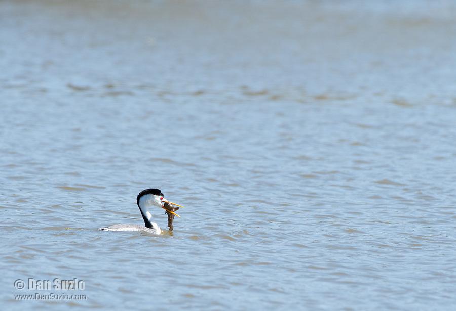 Clark's Grebe, Aechmophorus clarkii, catches a fish in Upper Klamath Lake, Oregon