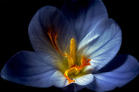 Close up of Crocus. Oregon