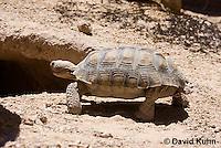 0609-1017  Desert Tortoise Retreating into Burrow to Escape Heat (Mojave Desert), Gopherus agassizii  © David Kuhn/Dwight Kuhn Photography