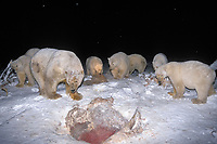 polar bears, Ursus maritimus, scavenging on baleen whale bones, Balaena mysticetus, at night in the 1002 coastal plain of the Arctic National Wildlife Refuge, Alaska, polar bear, Ursus maritimus