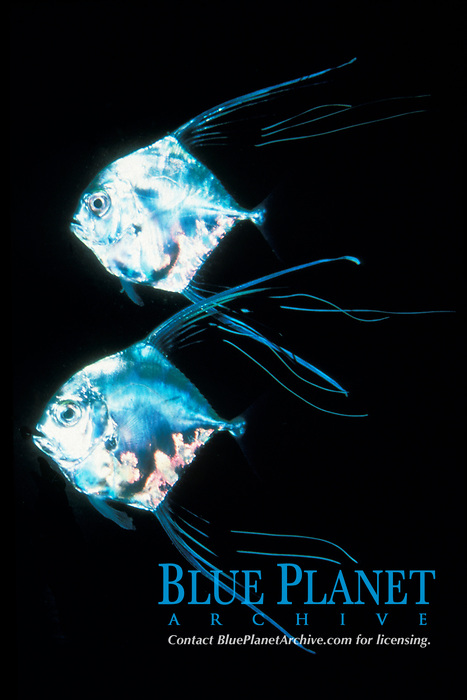 game fish, African pompano, juveniles, Alectis ciliaris (c)