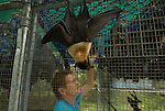 Lib Ruytenberg - a volunteer wildlife carer for the Tolga Bat Hospital caring for a Spectacled Flying Fox (Pteropus conspicillatus)