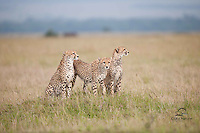 Mother (left) and 2 near-adult male cubs hunt on the Masai Mara, Kenya.