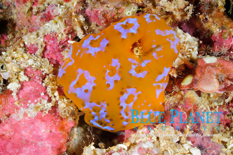 Tunicate, Aplysium sp., Bunaken Marine Park, North Sulawesi, Indonesia, Pacific Ocean