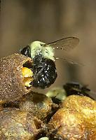 BU23-002z  Bumblebee - worker placing pollen in collecting pot - Bombus impatiens