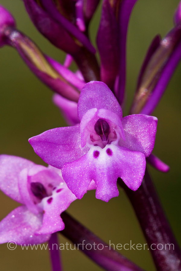 Vierpunkt-Knabenkraut, Orchis quadripunctata, Four-spotted Orchis, Four Spotted Orchid, L'Orchis quadripunctata