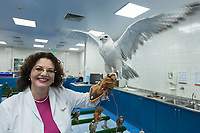 "United Arab Emirates (UAE). Abu Dhabi Falcon Hospital. Dr. med. vet. Margit Gabriele Muller (MRCVS) is the executive director of the falcon's hospital. Originally from Germany, the smiling 49-year-old woman holds in her hands a female Gyr Shaheen falcon. The hospital is considered the leading center in the world for falcon medical care. It is equipped with everything a hospital requires for treating humans, except that the patients have wings. Falcons are birds of prey in the genus Falco, which includes about 40 species. Adult falcons have thin, tapered wings, which enable them to fly at high speed and change direction rapidly. Additionally, they have keen eyesight for detecting food at a distance or during flight, strong feet equipped with talons for grasping or killing prey, and powerful, curved beaks for tearing flesh. Falcons kill with their beaks, using a ""tooth"" on the side of their beaks. The United Arab Emirates (UAE) is a country in Western Asia at the northeast end of the Arabian Peninsula. 19.02.2020  © 2020 Didier Ruef"