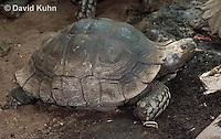 0218-1102  Asian Forest Tortoise (Burmese Black Tortoise), Found Northeast Taiwan to India, Manouria emys phayrei  © David Kuhn/Dwight Kuhn Photography