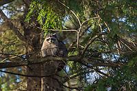 Raccoon (Procyon lotor) up in coastal hemlock tree.  Pacific Northwest.  Fall.