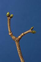 Berg-Ahorn, Bergahorn, Berg - Ahorn, Knospen, Acer pseudoplatanus, Sycamore, Maple, Erable sycomore