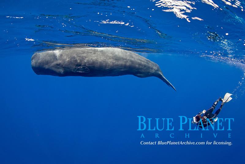 sperm whale, or cachalot, Physeter macrocephalus, and woman snorkeler, Dominica, Caribbean Sea, Atlantic Ocean, permit # RP 13/365 W-03