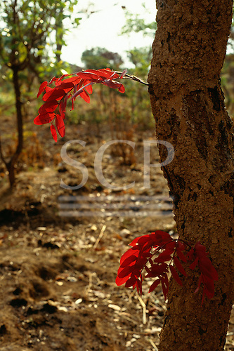 Chisimba, Zambia. Tree with red flowers sprouting from the trunk against a barren background; Brachystegia sp.