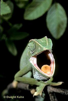 CH31-001z  African Chameleon - yawning, note tongue  - Chameleo senegalensis