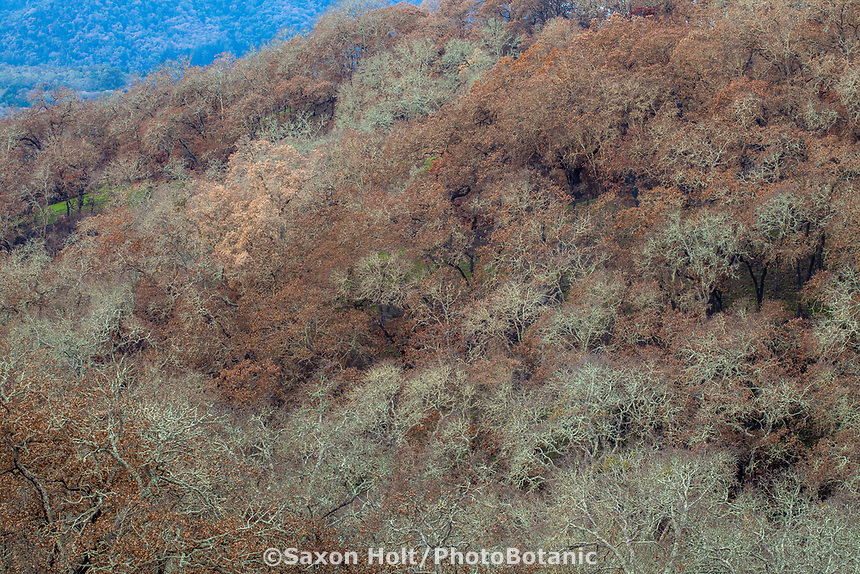 Burned trees and lost foliage on hillside; Fire damage and recovery from Nuns fire October 2017, Sonoma Valley Regional Park, California