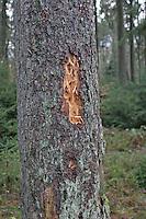Schwarzspecht, Schwarz-Specht, Spuren der Nahrungssuche, Specht hat Baumstamm angehackt bei der Suche nach Insekten, Tierspur, Dryocopus martius, Black Woodpecker, Pic noir