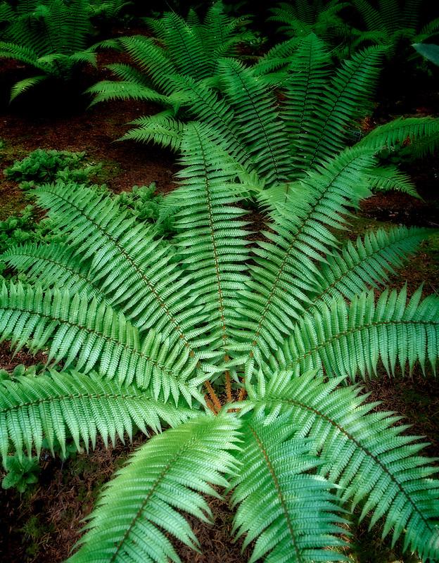 Ferns (Dryopteris wallichiana). Rhododenron Species Botanical Garden, Washington