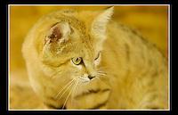 Sand Cat (Felis margarita) - Zoological Society of London - 16th June 2003