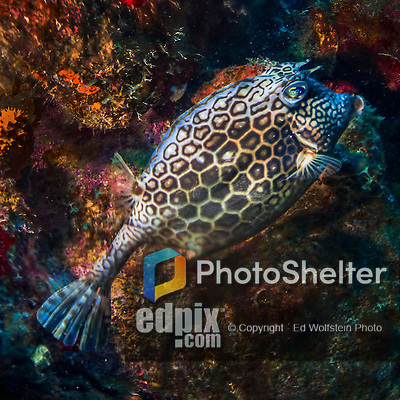 26 January 2016:  A Honeycomb Cowfish (Acanthostracion polygonius) is observed at Monk's Haven Reef on Klein Bonaire. Klein Bonaire (Small Bonaire) is an uninhabited island off the west coast of Bonaire in the Dutch Caribbean. Bonaire is known for its pioneering role in the preservation of the marine environment. A part of the Netherland Caribbean Islands, Bonaire is located off the coast of Venezuela and offers excellent scuba diving, snorkeling and windsurfing.  Mandatory Credit: Ed Wolfstein Photo *** RAW (NEF) Image File Available ***