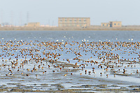 Flock of Curlew Sandpipers (Calidris ferruginea) and other shorebirds. Bohai Bay, China. May.