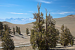The Ancient Bristlecone Pine Forest in Inyo National Forest, CA, USA
