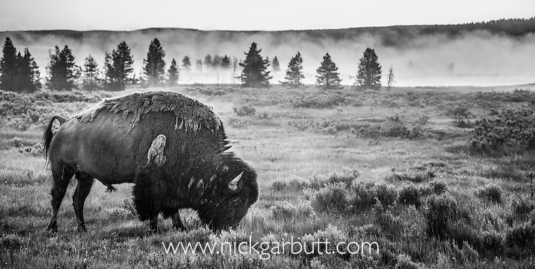 Male American Bison (Bison bison) grazing in the Firehole Valley with atmospheric early moring mist. Yellowstone National Park, Wyoming, USA. June