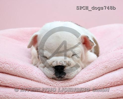 Xavier, ANIMALS, dogs, photos(SPCHdogs748b,#A#) Hunde, perros