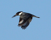 Male belted kingfisher hovering over water