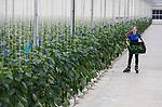 Foto: VidiPhoto<br /> <br /> EST – Met een versgeplukte kist vol groene paprika's van het nieuwe ras nr. 385 skeelert de 17-jarige Tamar van der Burg dinsdag door de 7 ha. grote paprikakassen van kweker Johan van der Burg. De oogst van de eerste paprika's is begonnen en ook de familie zelf is verzot op het nieuwe ras, dat compacter en smaakvoller is dan zijn soortgenoten. Van der Burg is een van de eerste paprikatelers met de nieuwe soort, dat alleen maar een nummer en nog geen naam heeft. Tamar heeft als kind leren skeeleren in de altijd aangenaam warme kassen van haar vader en traint daar nog dagelijks om in conditie te blijven. De groene paprika's komen onder de naam SoUnique op de markt.