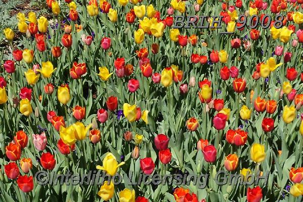 Luiz, FLOWERS, BLUMEN, FLORES, photos+++++,BRLH9008,#f#, EVERYDAY ,tulips ,allover