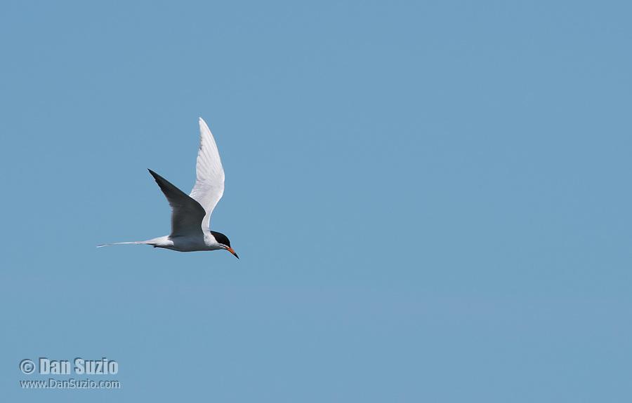 Forster's Tern, Sterna forsteri, flying over San Francisco Bay at Cesar Chavez Park, Berkeley, California