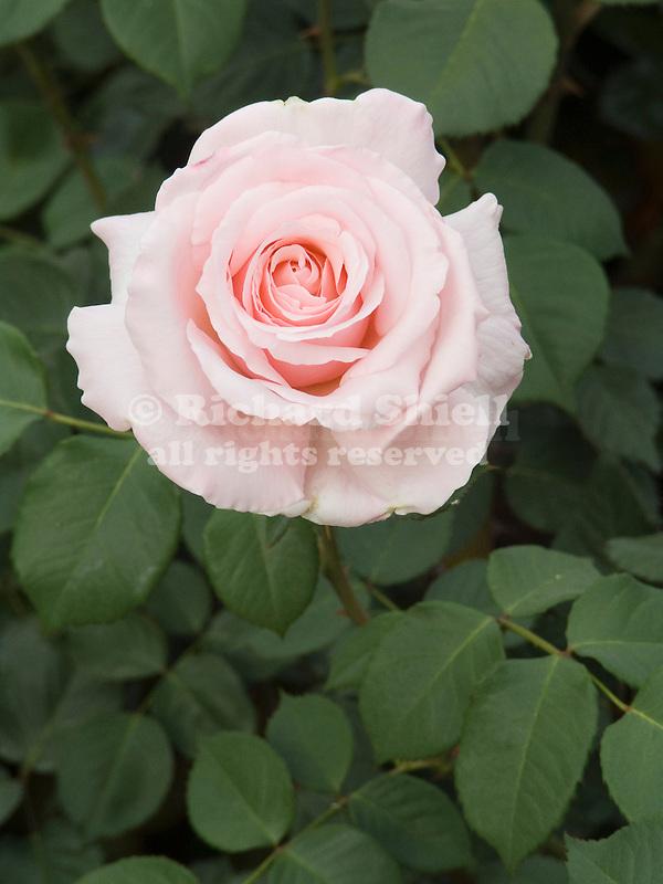 Anna Pavlova Rose flower, Rosa hybrid tea