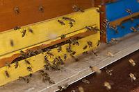 Honigbiene, Honig-Biene, Honigbienen beim Ein- und Ausflug an ihrem Bienenstock, Biene, Bienen, Imkerei, Imker, Apis mellifera, honey bee, hive bee